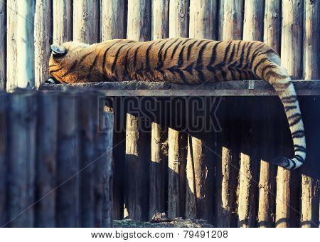 Tiger Resting On A Wood Shelf