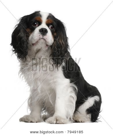 Cavalier King Charles Spaniel, 5 Years Old, Sitting In Front Of White Background