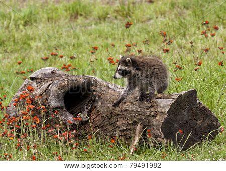 Raccoon Baby On a Log