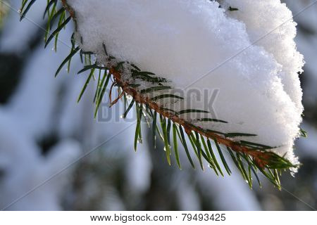 Spruce twig with snow