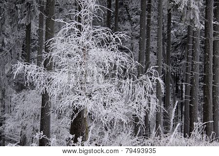 Snow Covered Wintry Forest