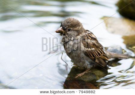 Brown Sparrow