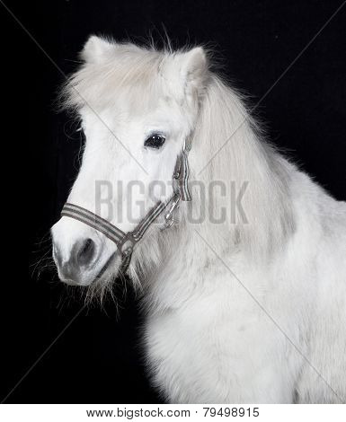 White Pony In Front Of A Black Background