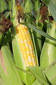 picture of corn-silk  - Close up on an ear of fresh pick candy sweet corn on the cob at a vegetable stand at an open air farmer - JPG