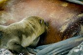 image of sea lion  - sea lion baby and mother in san cristobal galapagos islands ecuador - JPG