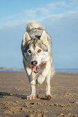 stock photo of border terrier  - gundog - JPG