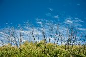 picture of wispy  - Blue sky wispy white clouds lush green foliage and protruding fringe of bare burnt branches - JPG