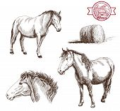 picture of horse-breeding  - breeding horses - JPG