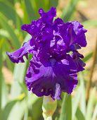 Постер, плакат: Violet Iris