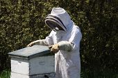 stock photo of bee-hive  - A bee  keeper in protective gear tends a hive  - JPG