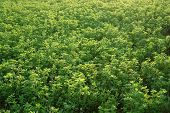 picture of alfalfa  - Photo shows Alfalfa growing in the countryside  - JPG