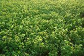 stock photo of alfalfa  - Photo shows Alfalfa growing in the countryside  - JPG