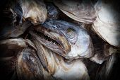 pic of eye-sockets  - The severed fish heads of cod preserved by drying in the cold air of Lofoten to send it to Nigeria - JPG