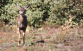 image of mule  - Mule Deer doe trotting out of the manzanita brush - JPG