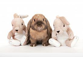 picture of dwarf rabbit  - Dwarf lop - JPG