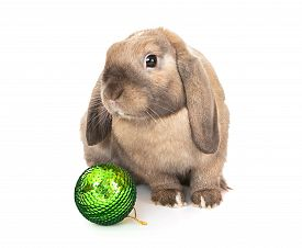 picture of dwarf rabbit  - Dwarf rabbit with a Christmas toy - JPG