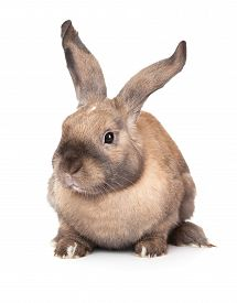 stock photo of dwarf rabbit  - Rabbit with raised ears - JPG