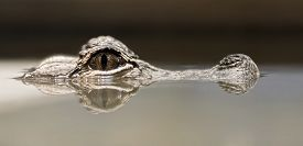 picture of gator  - Photo of a Chinese Alligator poking it - JPG
