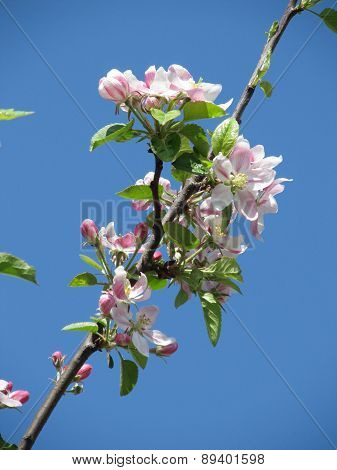 blooming twig of apple tree