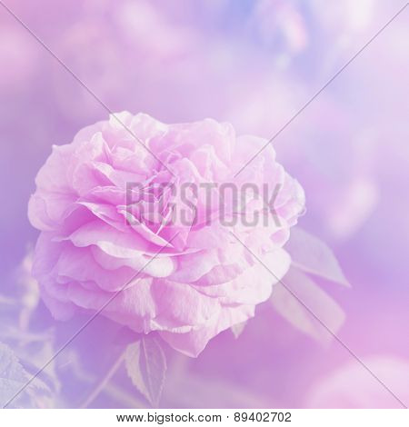 Rose Flowers In Sunny Day