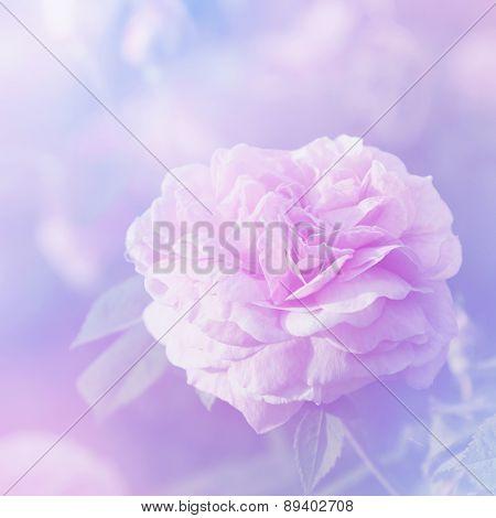 Rose Flower In Spring