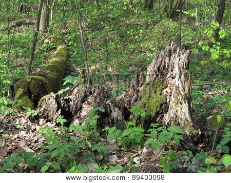 Rotten stump and trunk