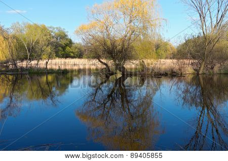 Willows Reeds And Pond In Spring