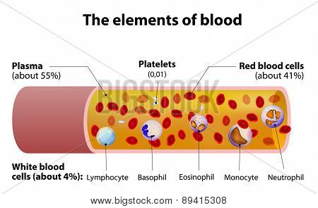 The Elements Of Blood. Blood Vessel Cut Section