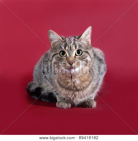 Tabby Cat Sitting On Burgundy