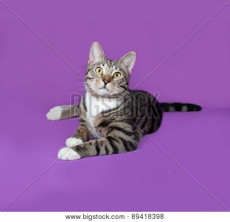 Tabby And White Cat Lying On Lilac