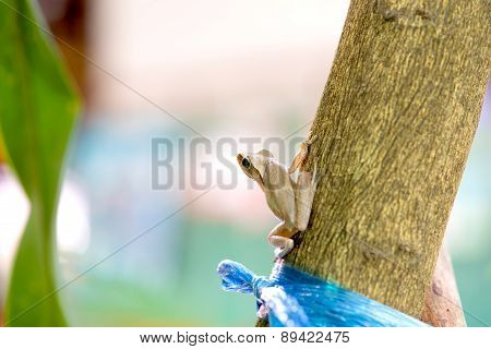 Golden Tree Frog On Tree