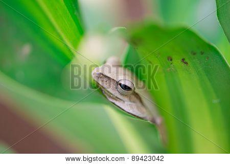 Golden Tree Frog On Green Leaf