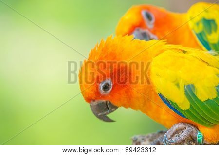 A Close Up Shot Of Sun Conure Beautiful Colorful Parrot