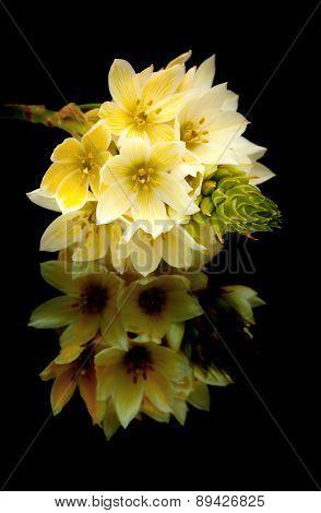 Star-of-bethlehem Flowers