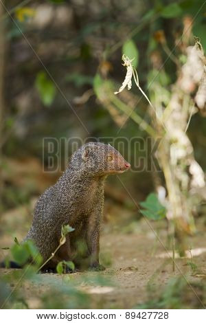 Indian Gray Mongoose In Sri Lanka