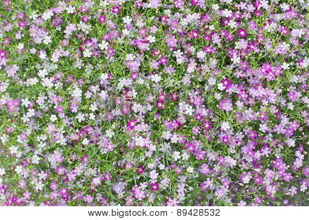 Beautiful Lovely Little White And Pink  Gypsophila Flowers Pattern With  Green Leaves Decorated In H