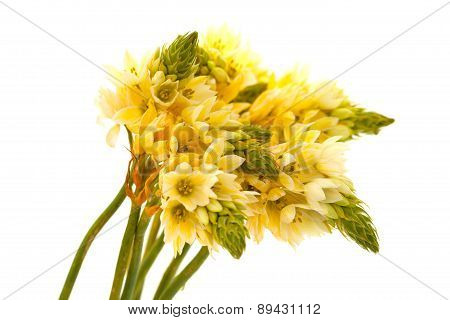 Bunch Of  Star-of-bethlehem Flowers