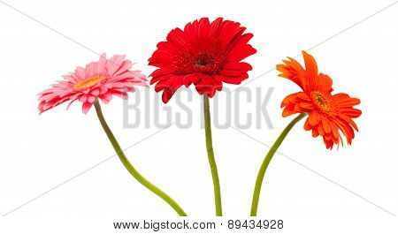 Gerbera Isolated On White