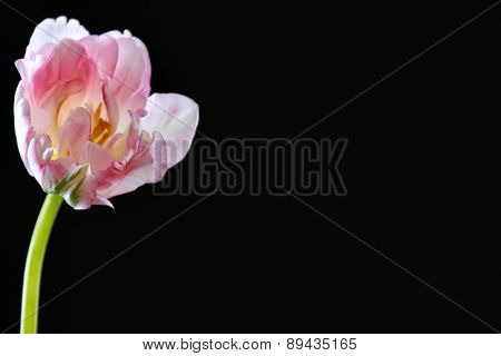 Fresh tulip on black background