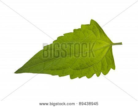 Bitter Bush Leaf Isolated