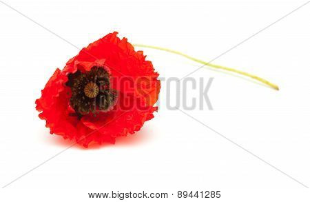 Bring Red Poppy On White Surface