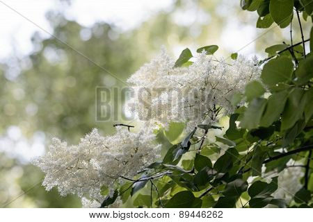 Amur Lilac