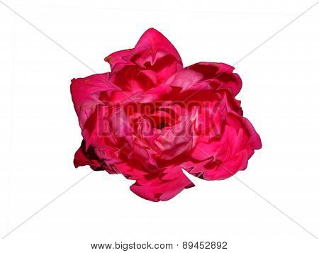 Liquified Rose Isolated