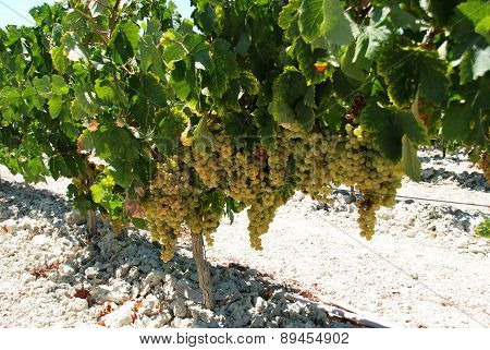 Ripe white grapes on the vine, Spain.