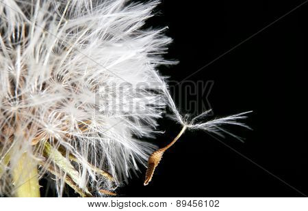 Dandelion Seed Hanging On