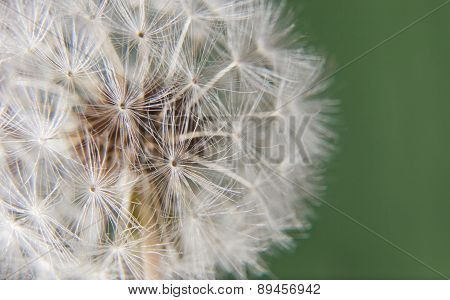 Dandelion Head Over Green