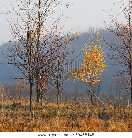 Birch Of Morning