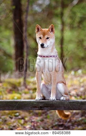 red shiba-inu dog posing on a bench