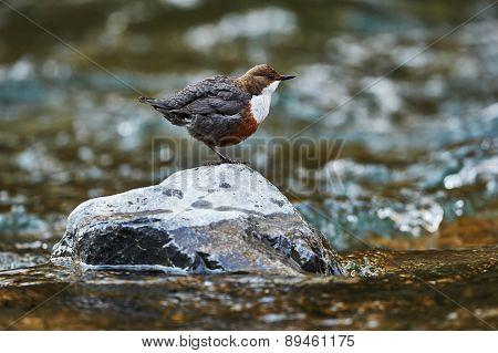 European Dipper On A Rock