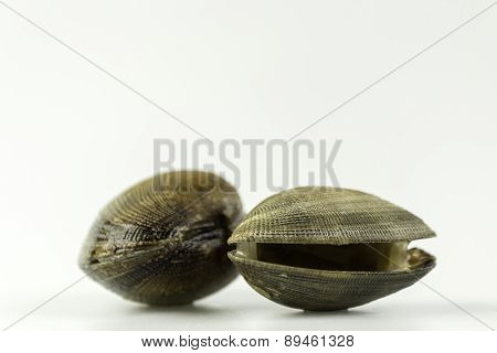Ruditapes Philippinarum, An Edible Species Of Saltwater Clam, Its A Marine Bivalve Mollusk.